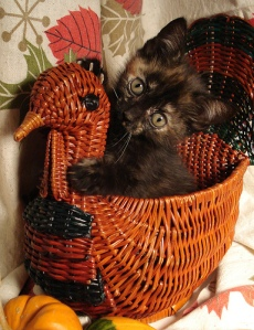 kitten-thanksgiving